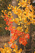 Red and gold aspen leaves wrap around the base of a tree in the Toiyabe National Forest of the Sierra in California.