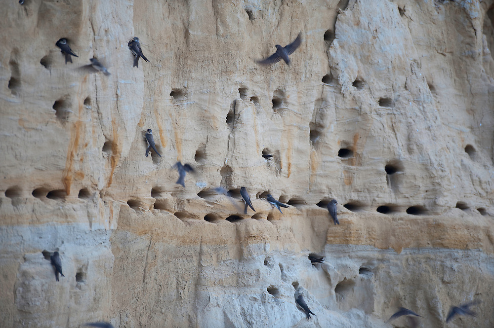 Sand martin (Riparia riparia)  colony near lake Belau, south west of Moldova