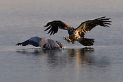 A juvenile bald eagle (Haliaeetus leucocephalus) attempts to steal a fish from a great blue heron, which shields its catch in Hood Canal near Seabeck, Washington.