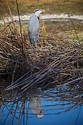 Great Blue Heron At El Dorado Regional Park  Long Beach California