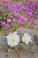 Desert Sand Verbena.(Abronia villosa) and Dune Evening Primrose.(Oenothera deltoides) Sonoran Desert, Anza-Borrego State Park California