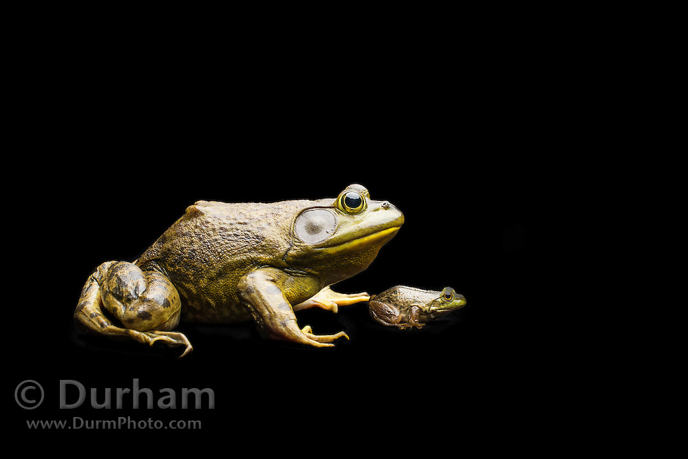 A newly morphed juvenile and large male American bullfrog (Lithobates catesbeianus) - an invasive species in the western North America.