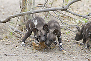 African Wild Dog<br /> Lycaon pictus<br /> 6 week old pups playing with impala hide<br /> Northern Botswana, Africa<br /> *Endangered species