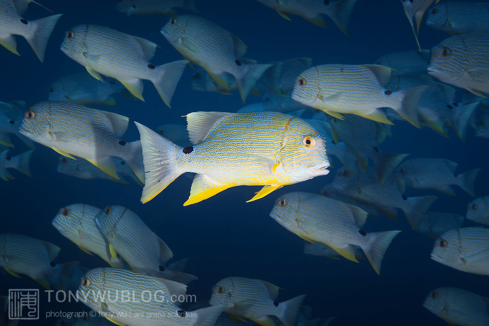 Single sailfin snapper, or blue-lined sea bream (Symphorichthys spilurus), swimming in the opposite direction from the rest of the school. These fish were gathered by the tens of thousands for a spawning aggregation.