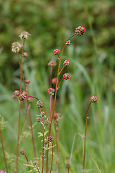 Kleine pimpernel, Sanguisorba minor subsp. minor