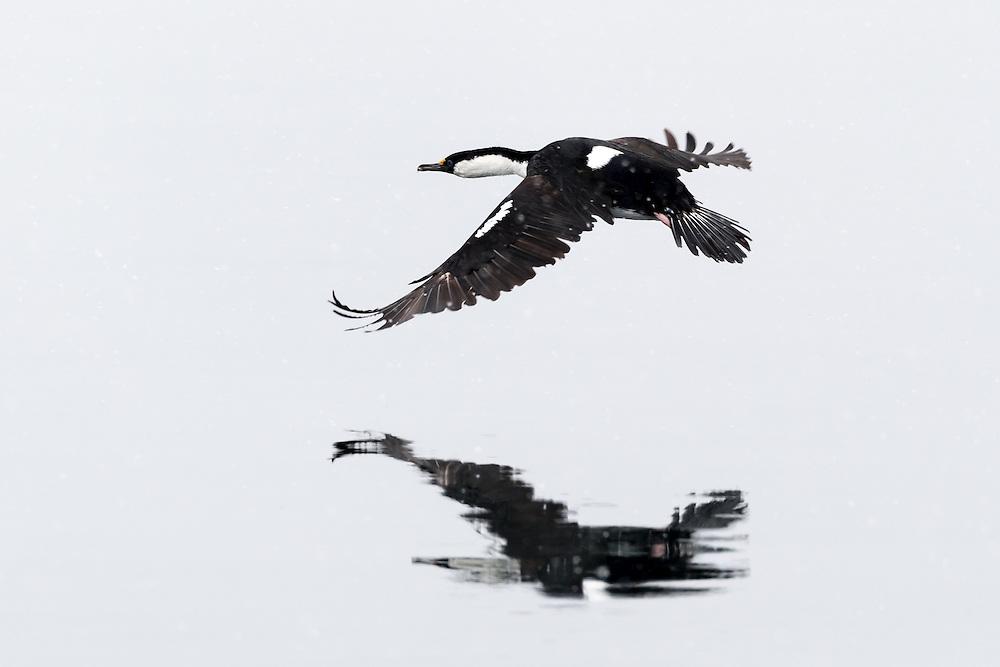 Blauaugenkormoran, Antarktis