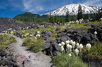Beargrass (Xerophyllum tenax) grows along the Toutle Trail on a lava flow on the south side of Mt St Helens at Red Rock Pass, Mount St Helens National Monument, Washington, USA