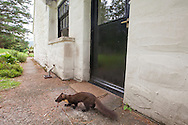 Pine marten (Martes martes) feeding in doorway of house, Ardnamurchan, Scotland.