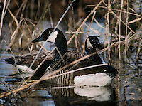 anatidae; animal; anseriformes; bay; biology; bird; branta canadensis; canada; goose; chesapeake bay; eastern shore; ecosystem; feathered; geese; gray; group; habitat; maryland; md; migration; migratory; nature; north america; ornithology ; territory; waterfowl; wild; wildlife; winged; avian; behavior; birds; cold; color; colour; creek; dusk; ecology; environment; evening; eventide; eve; flocks; flock; fowl; journey; long; migrate; multiple; natural; only; river; scenery; scenic; seasonal; serene; serenity; tidal; tide; tranquility; tranquillity; tranquil; tributary; twilight; water; animals; backlit; blackwater; blue; cambridge; conservation; conserve; county; day; dorchester; grey; horizontal; marsh; migrating; motion; national; nobody; november; no people; october; ornithology; outdoors; passage; refuge; remote; social; south; speed; togetherness; together; usa; view; wings; wing; winter; yearly