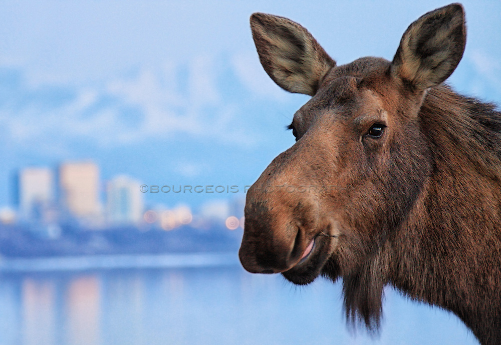 A rare photo of a moose standing in front of the city of Anchorage in Alaska