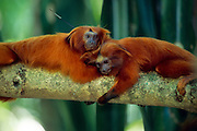 Golden Lion Tamarins (Leontopithecus rosalia) are social and gregarious animals that appreciate physical contact. | Löwenäffchen (Leontopithecus rosalia) sind soziale und gesellige Tiere, bei denen Körperkontakt zum Alltag gehört.