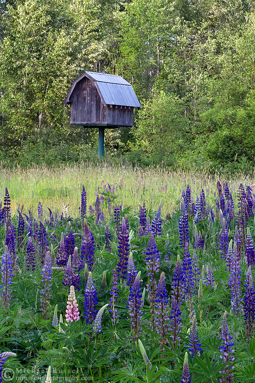 A small barn creates nesting space for Barn Owls amid the flowering Lupines at Elgin Heritage Park in Surrey, British Columbia, Canada