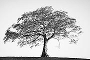 A lone tree on a hill, East Coast Australia.