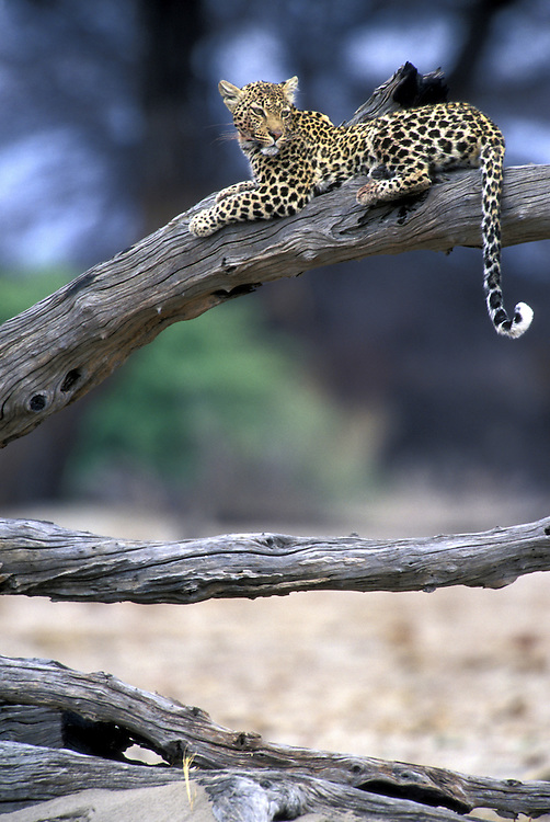 Botswana, Chobe National Park, Adult Leopard (Panthera pardus) rests on dead tree limb in Savuti Marsh