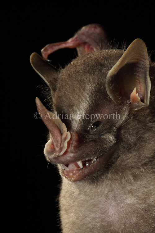 Leaf-nosed Bat (Dermanura sp.) La Selva Biological Station, Costa Rica. <br />