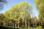 Populus tremula European aspen trees growing in wet meadow land, Kirton, Suffolk, England