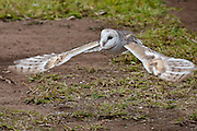Barn owl, Tyto alba, Australia