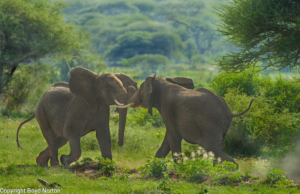 Adult elephants, males, sparring for dominance; Lake Manyara National Park, Tanzania