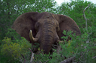 KLASERIE PRIVATE GAME RESERVE, SOUTH AFRICA, DECEMBER 2004. An elephant take a protectective stance after being stalked. Wildlife guide Gary Freeman takes people on walking safaris in the bush. Photo by Frits Meyst/Adventure4ever.com