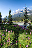 Fireweed blooms in a forest along the Mistaya River in Banff National Park, Alberta