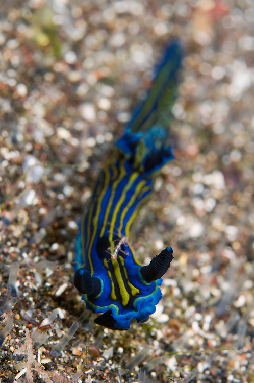 Nudibranch, Tambja ceutae, with a skeleton shrimp riding on the back, Pico & Faial, Azores, Portugal