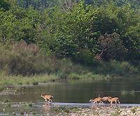 Swamp Deer, Rucervus duvaucelii, crossing a river, Bardiya National Park, Nepal