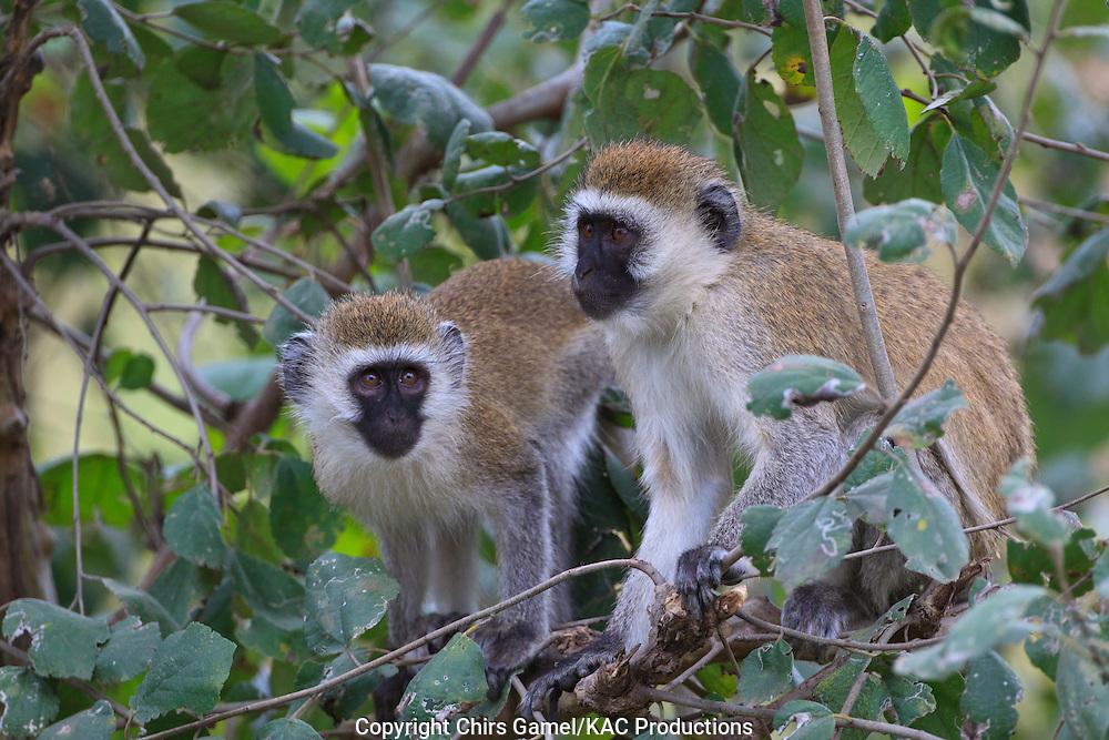 Two vervet monkeys sitting in a tree.