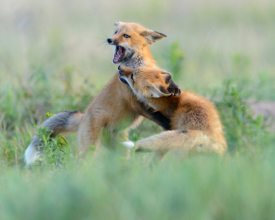 Two young red fox kits at play, Missoula, Montana