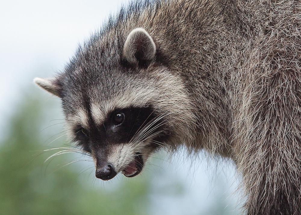 Raccoon, Lummi Island, Washington