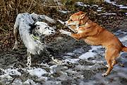 """English Setter """"Rudy"""" spielt  mit einem Freund am 09.02. 2019 am Teich in Stara Lysa, (Tschechische Republik).  Rudy wurde Anfang Januar 2017 geboren."""