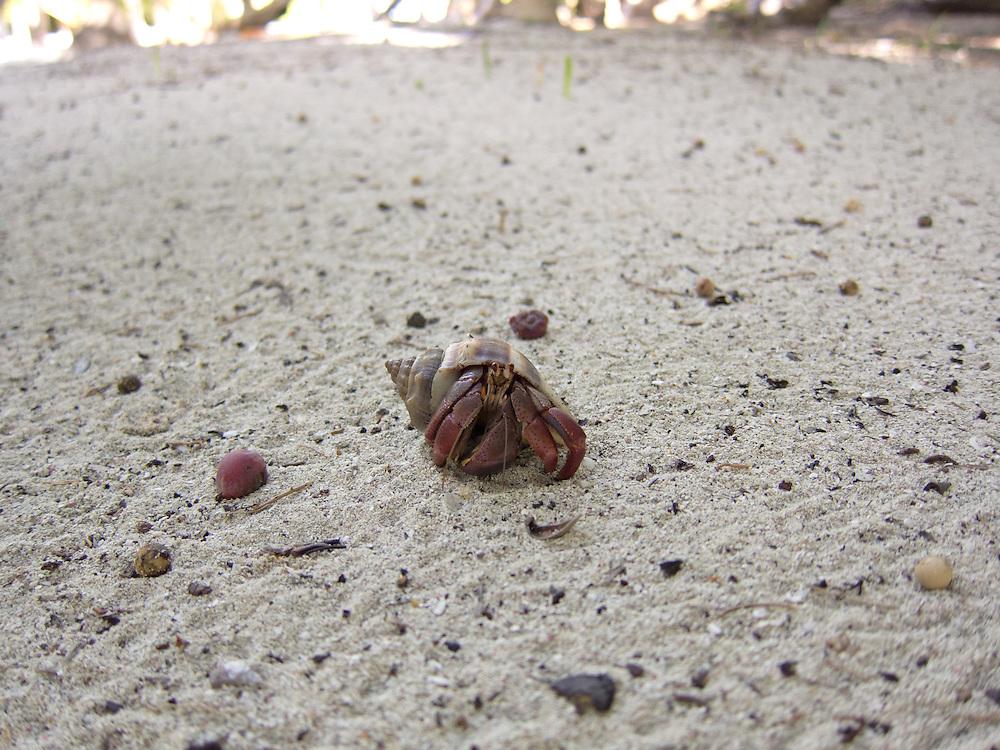 Ambergris Caye, Belize 8/31/2012.Hermit crab in the Bacalar Chico National Park..Alex Jones / www.alexjonesphoto.com