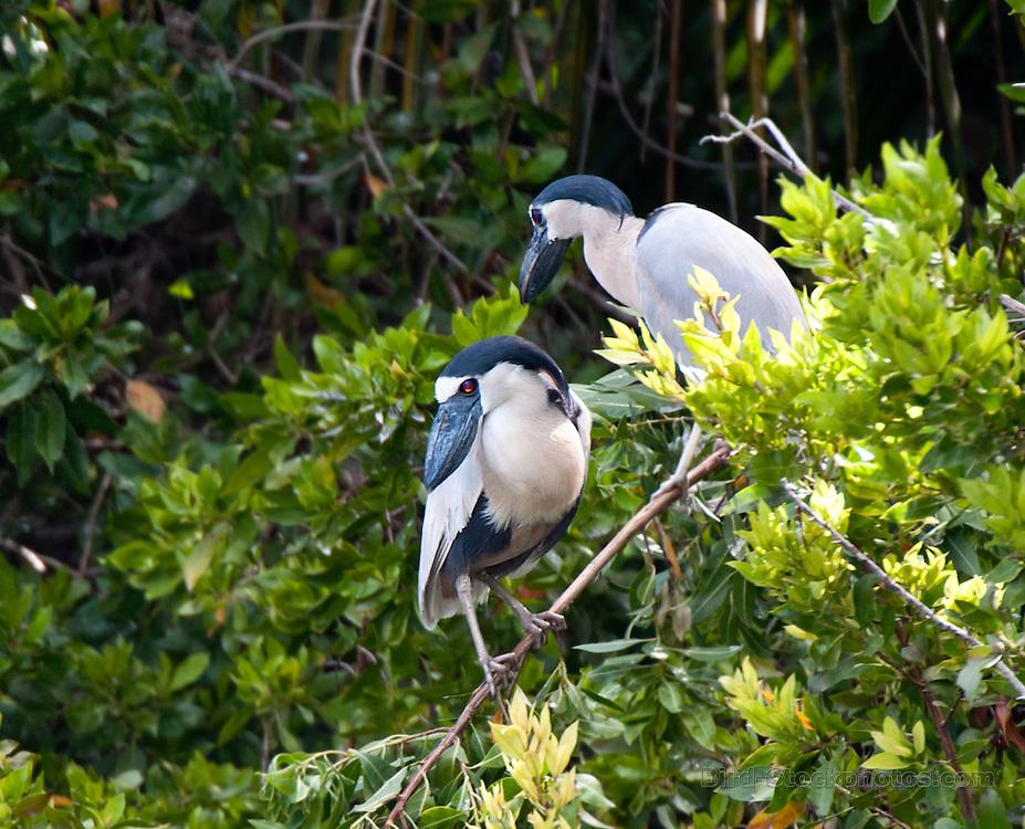 Boat-billed Herons, Cochlearius cochlearius, Yucatan, Mexico, by Owen Deutsch