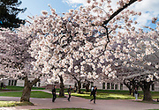"Cherry trees flower in early April in Seattle, Washington, USA. The Yoshino cherry trees on ""the Quad"" (Liberal Arts Quadrangle) of the University of Washington were a senior gift from the class of 1959. The trees were rescued from a construction site for the Evergreen Point Floating Bridge and moved to campus in 1964."