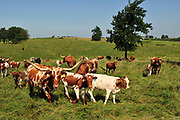 Texas Longhorn Cattle at Dickinson Cattle Company, Barnesville, Ohio.