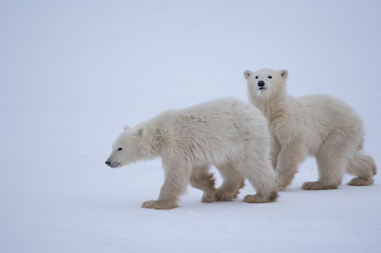 Polar Bear (Ursus maritimus)  cubs at Cape Churchill, Manitoba