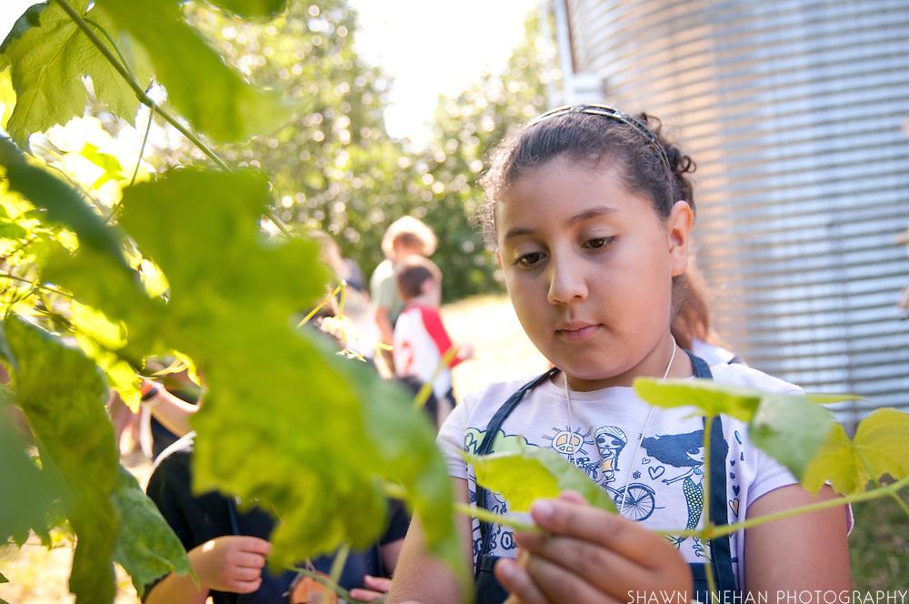 Gathering grape leaves for Dolmas