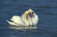DEU, Germany, mute swans (lat. Cygnus olor)....DEU, Deutschland, Hoeckerschwaene (lat. Cygnus olor)........