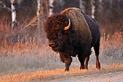 Plains bison (Bison bison bison)  is the largest land animal in North America<br /> Riding Mountain National Park<br /> Manitoba<br /> Canada