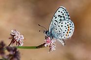 Euphilotes m. mojave - Mojave Blue