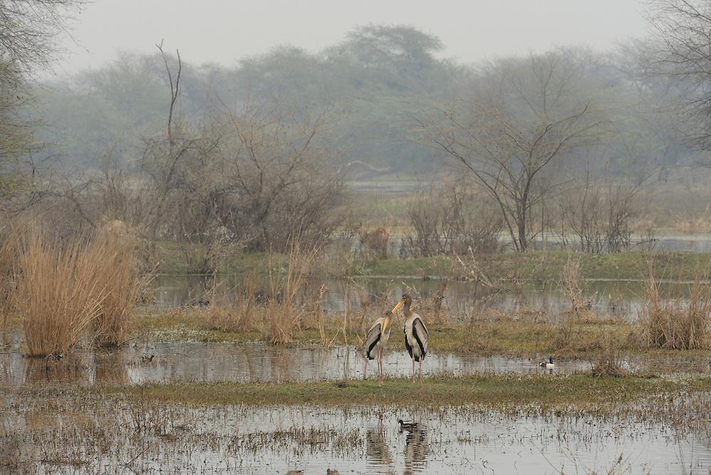 Painted Stork,Keoladeo National Park,Bharatpur Wildlife Sanctuary,UNESCO World Heritage site, Bharatpur,Rajasthan,India