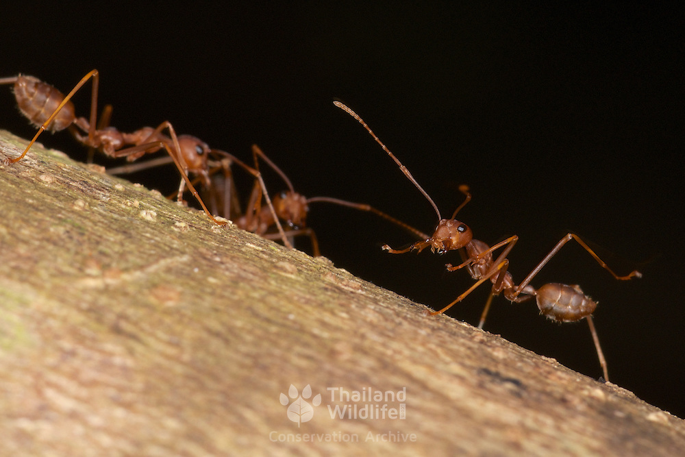 Oecophylla smaragdina (common names include weaver ant, green ant, green tree ant, and orange gaster) is a species of arboreal ant found in Asia.