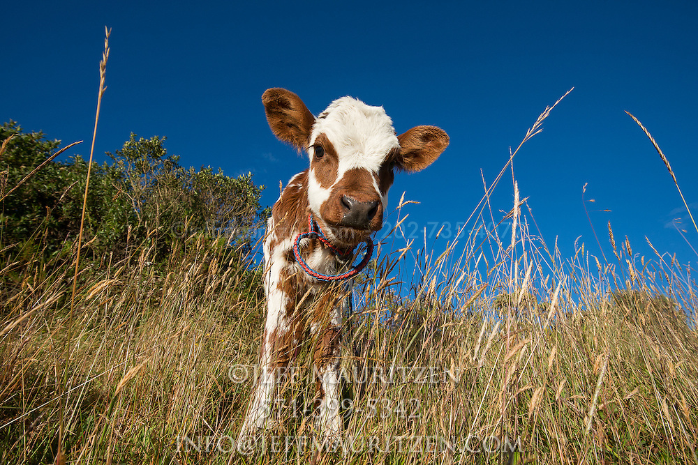 A young calf is tethered in a field high in the Sierra, or Andean mountains of Ecuador.