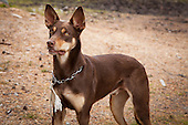 Shepherd dogs - Working kelpie