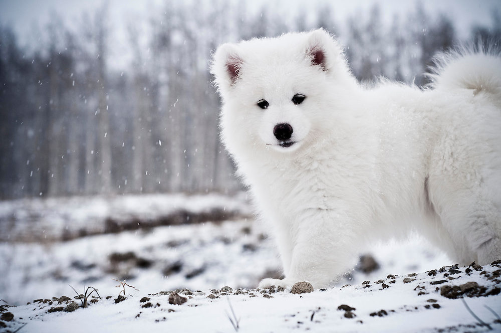 Name: Kuma | Breed: Samoyed | Age: 9 weeks
