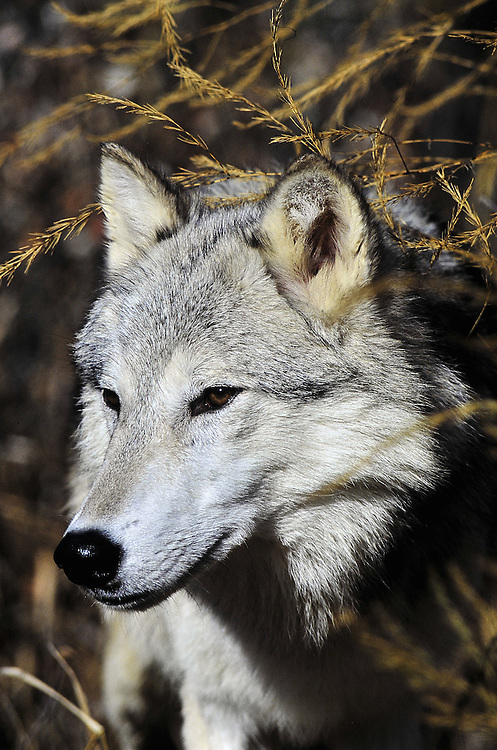 Adult wolf in a Montana forest peers out from<br />