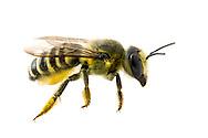 Leaf-cutter Bee (Megachile sp.)<br /> TEXAS: Bexar/Guadalupe County line<br /> rural property on Cibolo Creek<br /> 27-Apr-2013<br /> J.C. Abbott #2646 &amp; K.K. Abbott