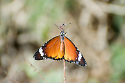 Israel, Coastal Plains, Lesser Fiery Copper (Lycaena thersamon) Butterfly.