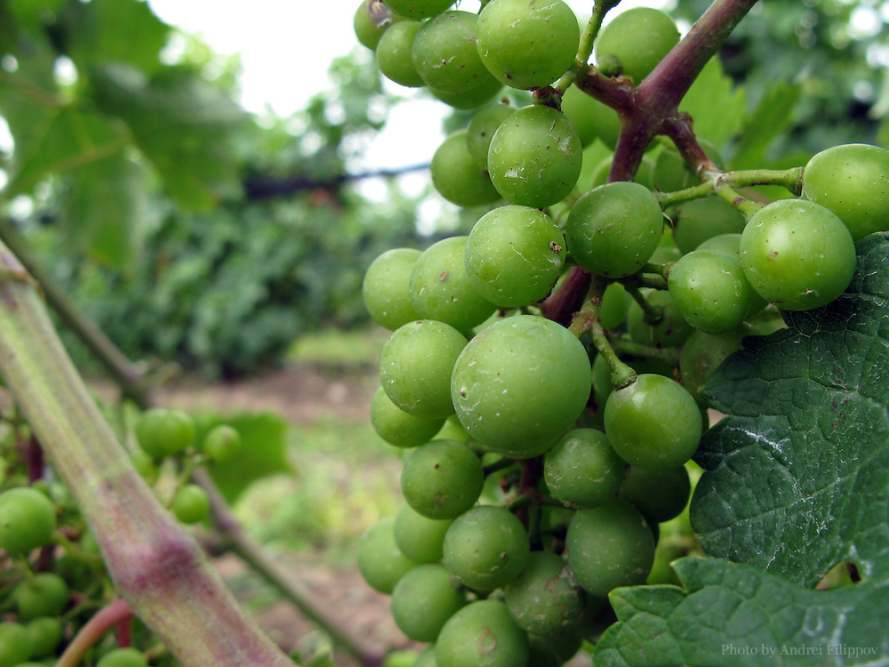 The grapes are growing in Ontario. The Prince Edward County in Ontario, Canada is known by its vineyards.