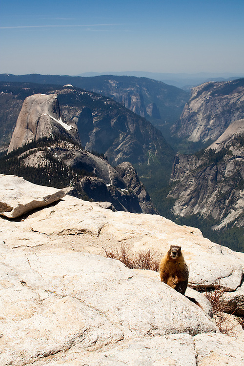 A marmot poses at the top of Cloud's Rest in front of view of Half Dome, Tenaya Canyon, and Yosemite Valley, Yosemite National Park