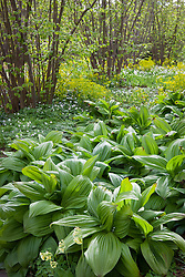 Veratrum nigrum in the Nuttery at Sissinghurst Castle Garden. Black False Hellebore